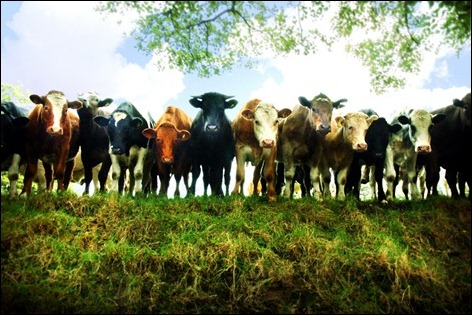 Curious Cows in HD