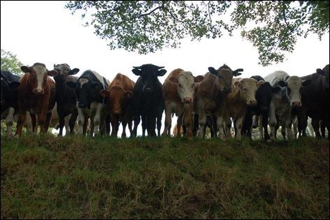 Curious cows original 6819