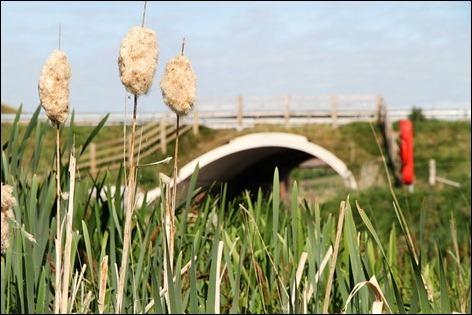 Bulrushes and bridge