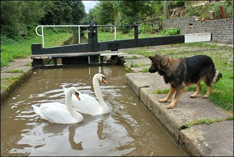 Swans and dog at Hall Green Lock, Macclesfield Canal