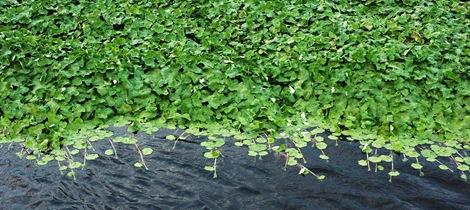Floating Pennywort and more Floating Pennywort