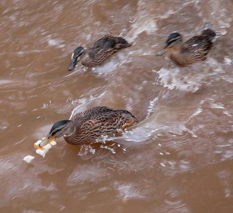 Duck_race_7803